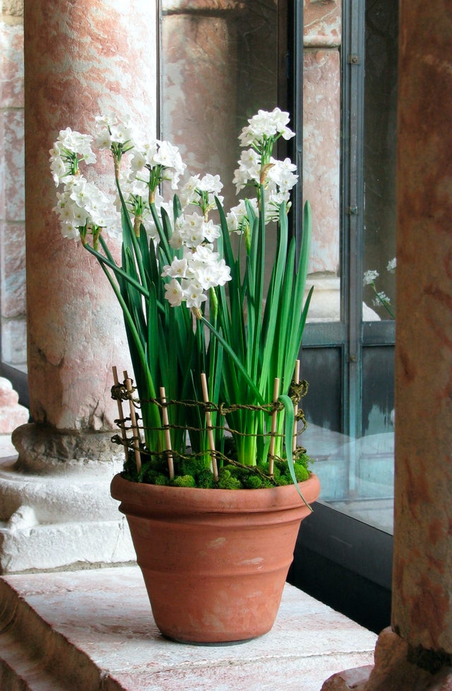 Bring spring indoors early — very early — by forcing bulbs