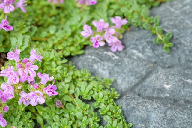 Ask the Gardener: Consider this plant to line your walkways